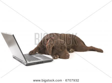 Labrador Working On Laptop