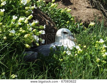 Fulmar At Nest