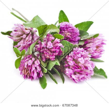 Closeup of red clover flower isolated on white background