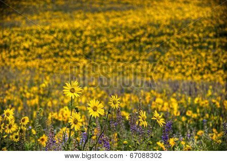 Sunflowers And Lupines