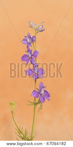 Dainty purple Larkspur flowering against light orange background