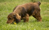 pic of dog tracks  - Young daschund dog tracking in the grass - JPG