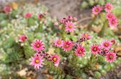 picture of cobweb  - Closeup of pink blooming Cobweb Houseleek or Sempervivum arachnoideum in the early summer season - JPG