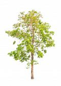 image of malay  - Pterocarpus indicus known by several common names including Amboine Pashu Padauk Malay Paduak New Guinea Rosewood tropical tree in the northeast of Thailand isolated on white background - JPG