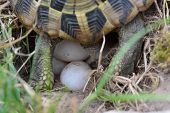 pic of egg-laying  - Turtle Laying Eggs in garden on summer time - JPG