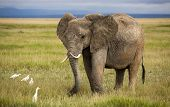 image of coexist  - Elephant with curved tusks and cattle egrets - JPG