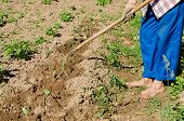 stock photo of hoe  - barefoot woman with blue pants hoe mould ground around young zucchini seedlings - JPG