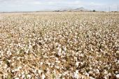 picture of pima  - a defoliated cotton field ready for harvest - JPG