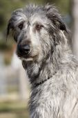 pic of gentle giant  - Portrait of a beautiful Irish Wolfhound in the park - JPG