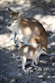 pic of wallabies  - A close up shot of an Australian Wallaby - JPG