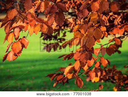 Red copper beech leaves in autumn