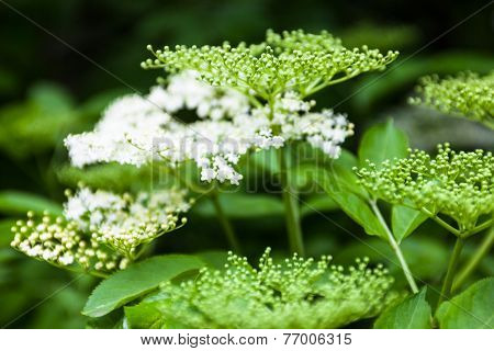 Flowers And Buds Of The Black Elder (sambucus)