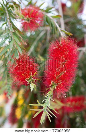 Crimson Bottlebrush