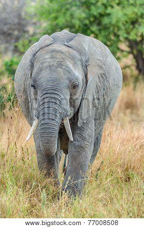 Elephant, Tarangire National Park, Tanzania, Africa