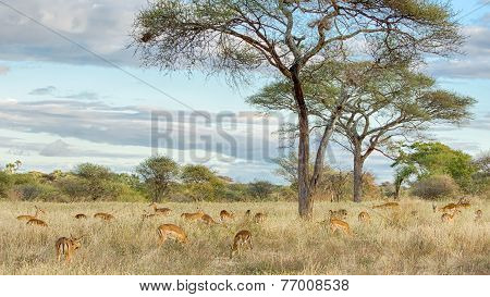 Herd Of Gazelles, Tarangire National Park, Tanzania, Africa