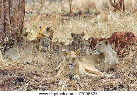 Pride Of Six Lions, Tarangire National Park, Manyara, Africa
