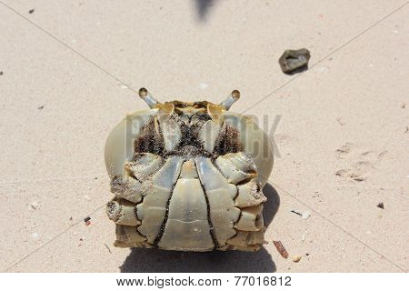 Crab Inside A Shell