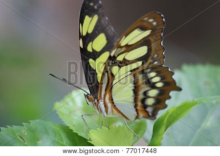 Colorful Butterfly Posed On Leaves