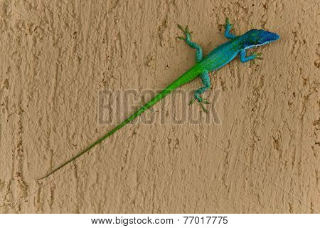 Two Coloured Lizard
