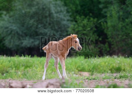 Little Pony Filly