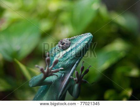 Carolina Anole Lizard