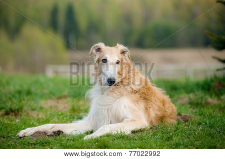 russian borzoi dog