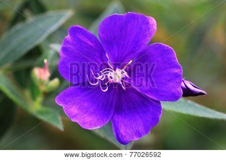 Common Melastoma flower and bud