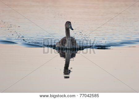Juvenile Of Mute Swan