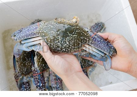 Horse Crab In Hand
