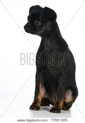 brussels griffon puppy sitting on white background