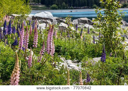 Majestic Mountain With Llupins Blooming, Lake Tekapo, New Zealand
