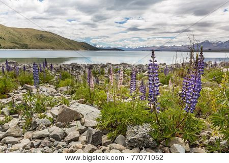 Majestic Mountain With lupines Blooming, Lake Tekapo, New Zealand