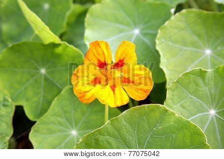 Orange nasturcium background