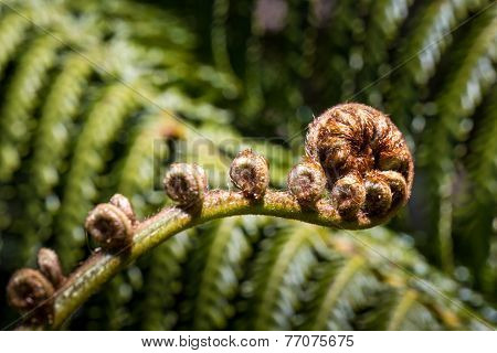 Unravelling Fern Frond Closeup, One Of New Zealand Symbols