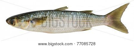 Crenimugil crenilabi (Fringelip mullet) on a white background
