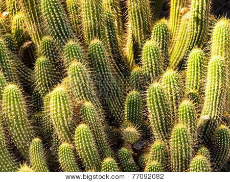Hedgehog Barrel Cacti In A Bunch