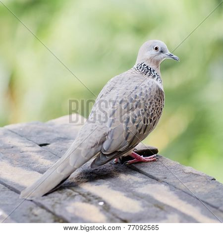 Emerald Spotted Dove