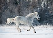 picture of wild horse running  - gray horse in winter forest running wild