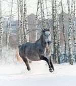 stock photo of wild horse running  - gray horse in winter forest running wild