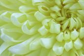 stock photo of buff  - Chrysanthemum flower - JPG