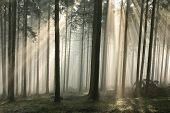 pic of coniferous forest  - Sun rays pass through trees in a coniferous forest in the morning - JPG