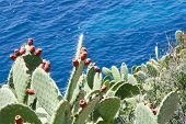stock photo of prickly pears  - Sardinian Prickly Pear, typicall mediterranean fruit . Picture take on the coast
