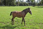 Pension for breeding purebred Arabian horses. Lovely bay colt grazing on a green fenced lawn poster