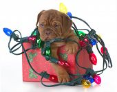 picture of dogue de bordeaux  - christmas puppy  - JPG