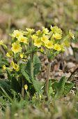 picture of cowslip  - False Oxlip - Primula x polyantha Hybrid of Cowslip & Primrose - JPG