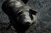 stock photo of wallow  - big pig sitting in the black mud - JPG