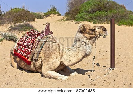 Resting camel in the sand.