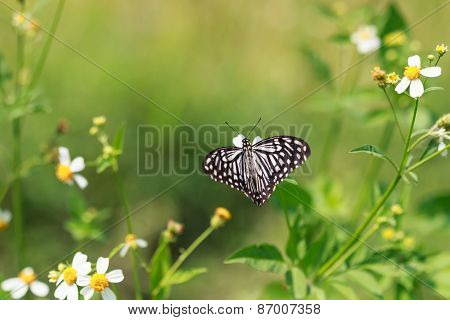The Dark Glassy Tiger Butterfly  On A Flower