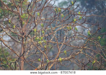 A Group Of Blossom Headed Parakeets Sitting On A Tree
