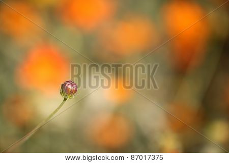 young orange cosmos